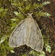 72.036 Muslin Footman, Nudaria mundana, Co Louth