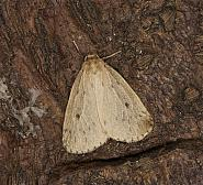 72.037 Round-winged Muslin, Thumatha senex, Co Louth