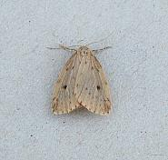 72.037 Round-winged Muslin, Thumatha senex, Co Wexford