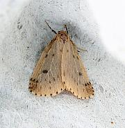 72.037 Round-winged Muslin, Thumatha senex, Co Leitrim