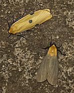 72.041 Four-spotted Footman, Lithosia quadra, female & male, Co Louth