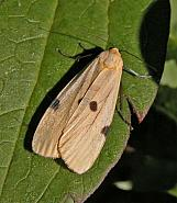 72.041 Four-spotted Footman, Lithosia quadra, female, Co Wicklow