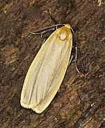 72.043 Buff Footman, Eilema depressa, Co Louth
