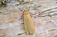 72.043 Buff Footman, Eilema depressa, Co Wicklow