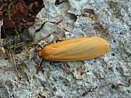 72.043 Buff Footman, Eilema depressa, Co Leitrim