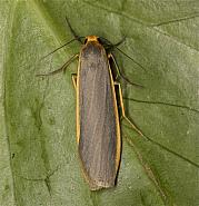 Common Footman, Eilema lurideola, Co Louth