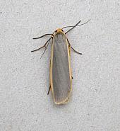 72.045 Common Footman, Eilema lurideola, Co Wicklow