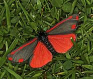 72.031 Cinnabar, Tyria jacobaeae, Co Louth