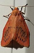 72.035 Rosy Footman, Co Kilkenny
