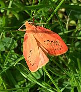 72.035 Rosy Footman, Co. Kilkenny