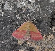 Boletobiinae: Small Purple-barred, Purple Marbled, Small Marbled (72.067-72.073)