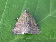 72.067 Small Purple-barred, Co. Clare