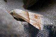 72.073 Small Marbled, Eublemma parva
