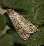 Marsh Oblique-barred, Hypenodes humidalis, Co Louth