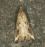 72.061 Pinion-streaked Snout, Schrankia costaestrigalis, Co Louth