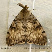 72.011 Gypsy Moth Lymantria dispar