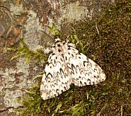 72.01 Black Arches, Lymantria monacha, Co Wexford