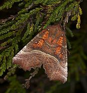 72.001 Herald, Scoliopteryx libatrix, Co Louth