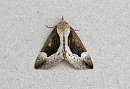 72.007 Beautiful Snout, Hypena crassalis, Co Wicklow