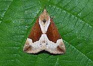 72.007 Beautiful Snout, Hypena crassalis, Co Sligo