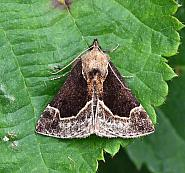 Beautiful Snout, Hypena crassalis, Co. Leitrim