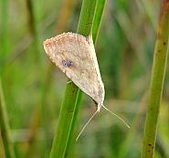 Straw Dot, Rivula sericealis, Co Antrim