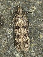 35.038 Bryotropha domestica, Co Louth