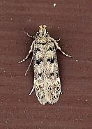 35.038 Bryotropha domestica, Co Donegal