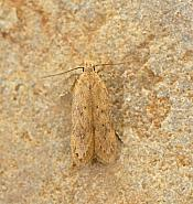 35.04 Bryotropha terrella, Co Mayo