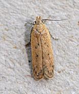 35.041 Bryotropha desertella, Co Wexford
