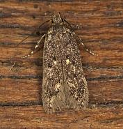 35.047 Bryotropha affinis, Co Louth