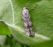 35.159 Exoteleia dodecella, Co. Meath