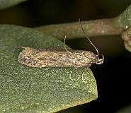 35.115 Scrobipalpa nitentella, Co Louth