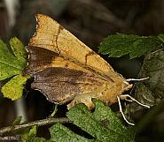 70.233 August Thorn, Ennomos quercinaria, Co Louth