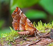 70.237 Early Thorn, Selenia dentaria
