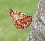 70.237 Early Thorn, Selenia dentaria, Co Wicklow
