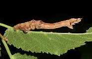 70.237 Early Thorn, Selenia dentaria, Co Antrim