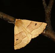 70.241 Scalloped Oak, Crocallis elinguaria