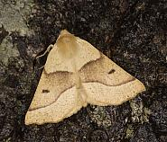 70.241 Scalloped Oak, Crocallis elinguaria, Co Louth