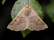 70.241 Scalloped Oak, Crocallis elinguaria, Co Wicklow