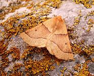 Scalloped Oak, Crocallis elinguaria, Co Antrim