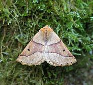 Scalloped Oak, Crocallis elinguaria, Co Leitrim