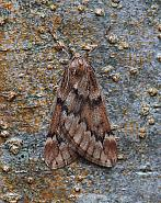March Moth, Alsophila aescularia, Co Leitrim