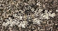 Peppered Moth, Biston betularia, Co Louth