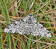 70.252 Peppered Moth, Biston betularia, Co Wexford