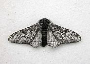 70.252 Peppered Moth, Biston betularia, Co Wicklow