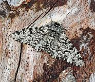 Peppered Moth, Biston betularia, Co Leitrim