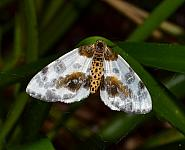 70.206 Clouded Magpie, Abraxas sylvata, Co Kerry