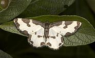 70.207 Clouded Border, Lomaspilis marginata