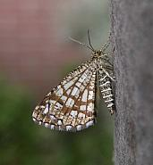 70.218 Latticed Heath Chiasmia clathrata
